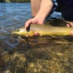 "19"" Brown Trout in the Yellowstone River near Bozeman, Montana."