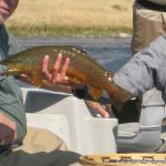 Lower Madison Brown trout, southwest Montana