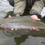 Girthy Rainbow trout in southwest Montana