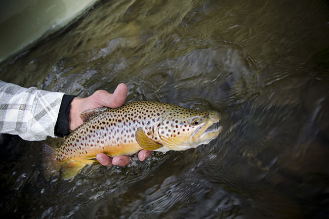Another fine Montana Brown Trout